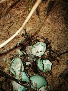 Ypač vertingas radinys – strazdo lizdelis su tuščiais kiaušinėlių lukštais