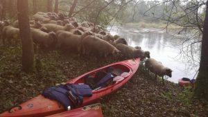 Nakvynės vietoje ryto tylą pertraukė keliasdešimties avių bandos bliovimas