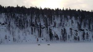 Upės vaga keliauja šiaurės elniai